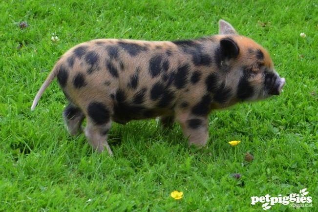micropiggies in the tub | Blog | Petpiggies | Micro Pigs : Micro Pigs For Sale : Mini Pigs ...