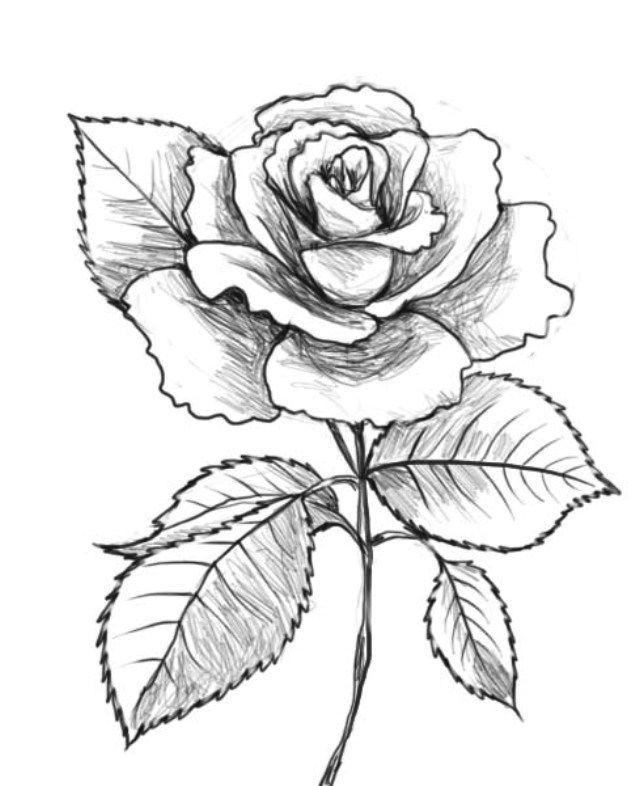 Aneka Contoh  Sketsa  Bunga Mawar Spesial WarnaGambar com