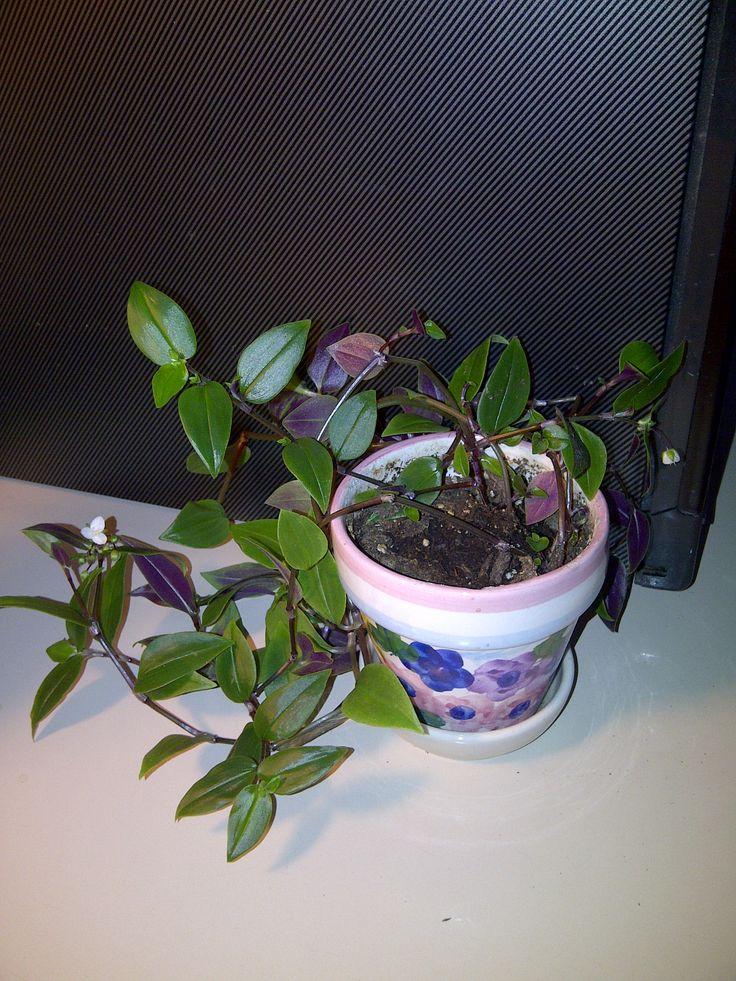 535bf4e70d924d643954996b2a52be1e flowering vines plant identification