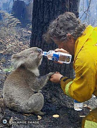 Firefighter David Teree gives water to an injured koala during the devastating Black Saturday bushfires that burned across Victoria, Australia, in 2009