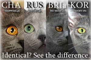 blue cats - left to right: chartreuse, russian blue,  british shorthair, korat.