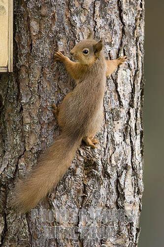 Red Squirrel Climbing Scots Pine Tree Stock Photo M 243 Kus