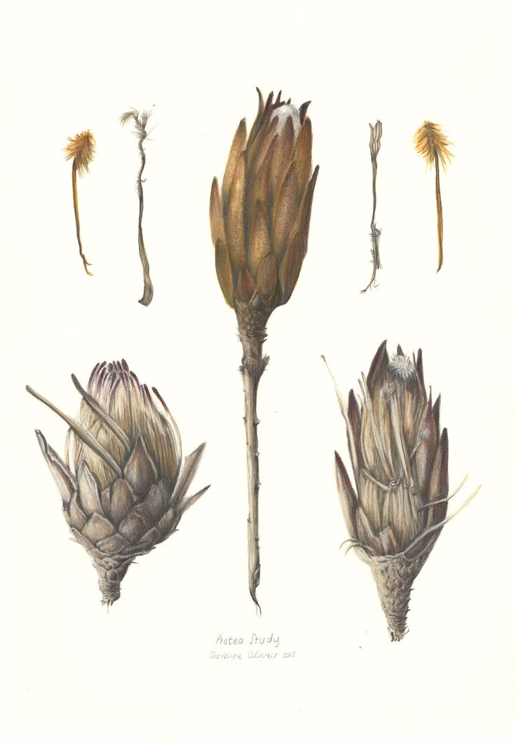 Pencil and watercolour illustration by PencilheartArt.  #Protea #Flowers #painting