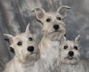 Dog breed info center miniature schnauzer