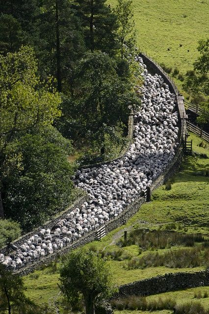 """"""" Driving the sheep to a new field in the Lake District - England"""".... by rightstuffphotography """""""