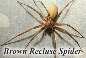 How to Get Rid of a Brown Recluse Spiders: Complete Guide from A to Z http://pestkill.org/insect/spiders/how-to-get-rid-of-brown-recluse-spiders/