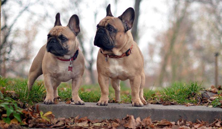 Frenchies, French Bulldogs, photo by Yaroslav Kisylychka