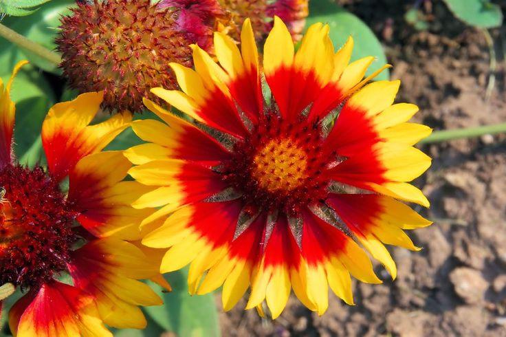 Kokardenblume – Pflanzen, pflegen und überwintern