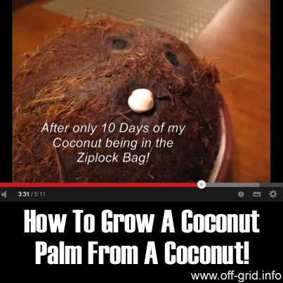 How to Grow a Coconut Palm from a Coconut! - Off-Grid