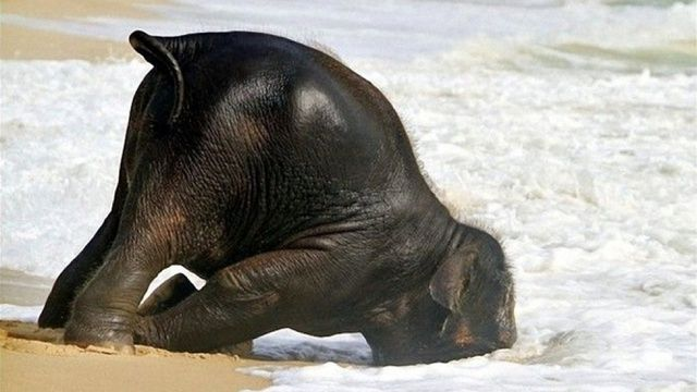"""Body surfing.  You""""re doing it wrong....  Absolutely adorable pictures of a baby elephant on the beach."""