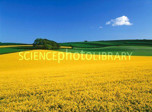E7702068-Oilseed_rape_crop_Brassica_napus_-SPL.jpg (530×391)