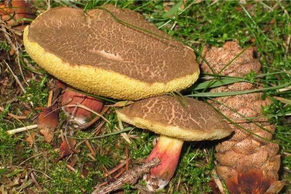 Jedlé - velmi chutné :: Foto Atlas hub - Encylkopedie - Zajímavosti o houbách on-line, katalog