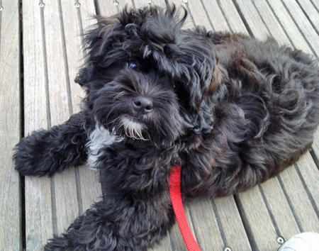 Chewy the Shih Tzu Mix -- Puppy Breed: Poodle / Shih Tzu