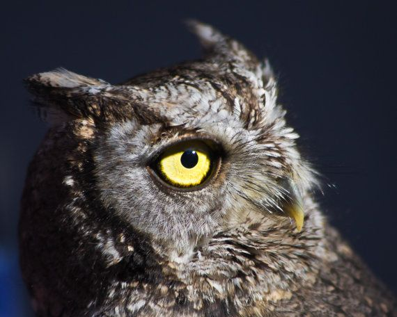 Western Screech Owl Bird of Prey Photography by CosmosCoolSupplies, $20.00