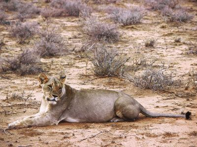 picture of lioness lying down photographic print