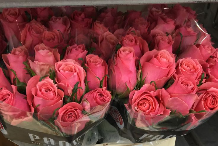 Roses Ace Pink