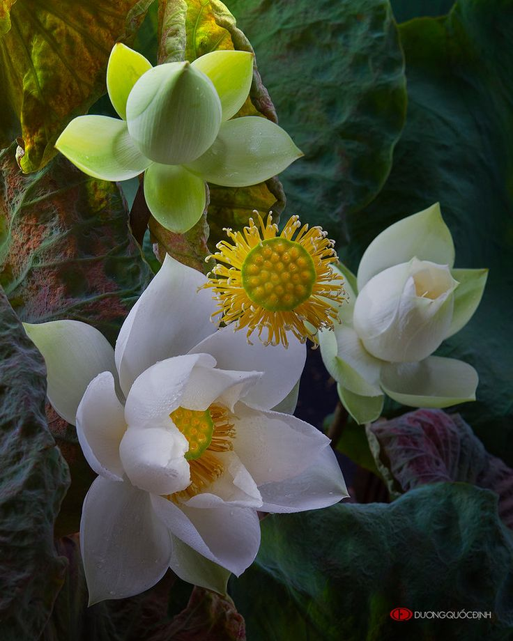 Lotus by duongquocdinh on DeviantArt                                                                                                                                                     More