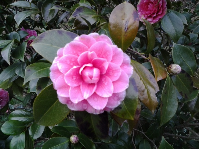 I think this is 'Princess Elisa' Camellia