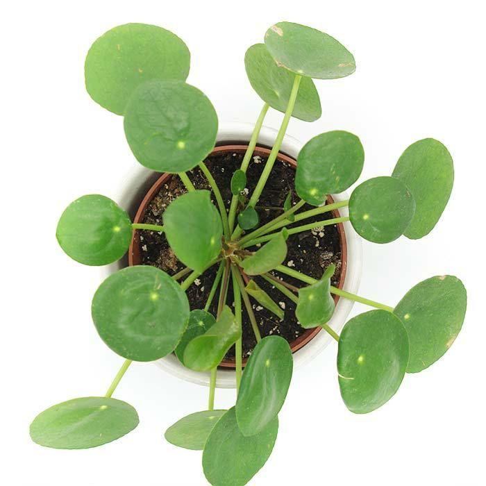 les 9 meilleures images du tableau pilea sur pinterest plantes d 39 int rieur plantes et usine. Black Bedroom Furniture Sets. Home Design Ideas