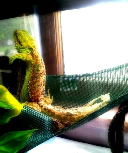 Bearded dragon, chilling, in shed -Morningstar