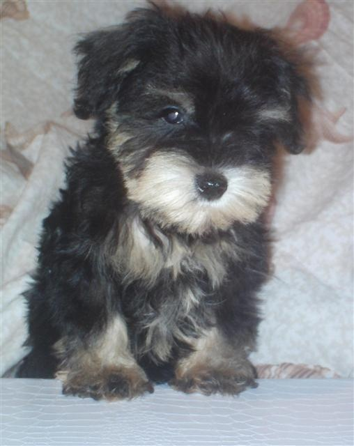 Schnoodle puppies in FL | Possible Pets