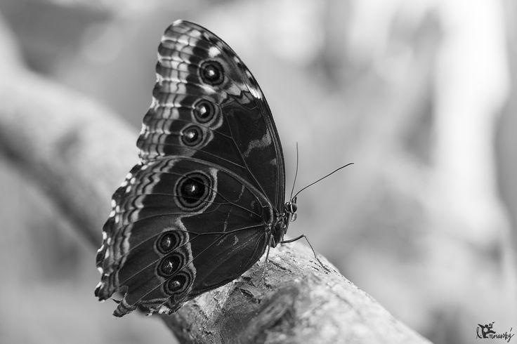 Motýľ/ butterfly