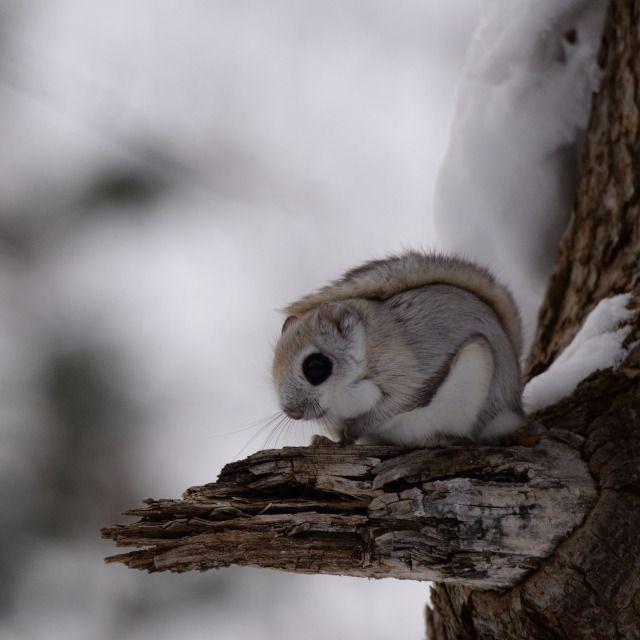 モモンガの住む森 可愛い 動物 かわいいペット 可愛すぎる動物