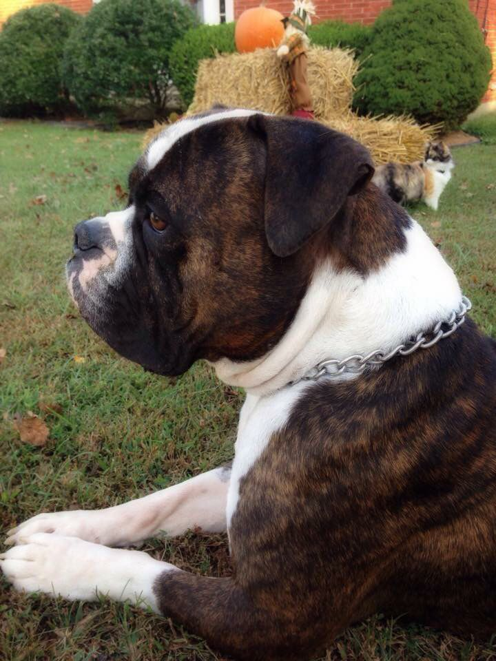 My Victorian bulldog! Best dog ever!
