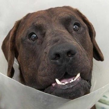 Check out Lilo's profile on AllPaws.com and help him get adopted! Lilo is an adorable Dog that needs a new home. https://www.allpaws.com/adopt-a-dog/mastiff-mix-cane-corso-mastiff/6497948?social_ref=pinterest