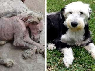 Perú SOS!! Old english sheepdog