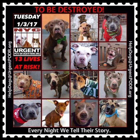 TO BE DESTROYED 01/03/17 - - Info Please Share: To rescue a Death Row Dog, Please read this:http://information.urgentpodr.org/adoption-info-and-list-of-rescues/ To view the full album, please click here: http://nycdogs.urgentpodr.org/tbd-dogs-page/ - Click for info & Current Status: http://nycdogs.urgentpodr.org/to-be-destroyed-4915/