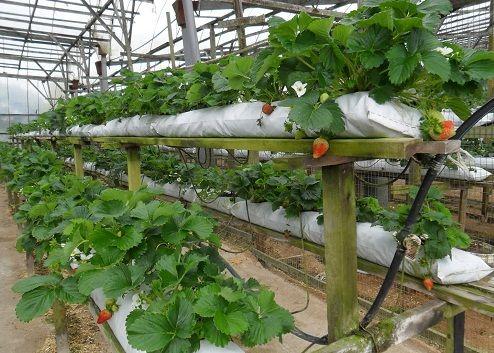 Как выращивать клубнику по голландской технологии?