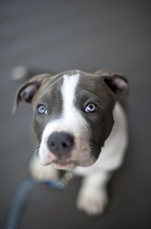 "Pit bull with pretty blue eyes..stop misunderstanding these great dogs!!! There's no such thing as a ""bad"" breed."