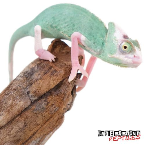 4-5 Inch High White Translucent Veiled Chameleons For Sale - Underground Reptiles