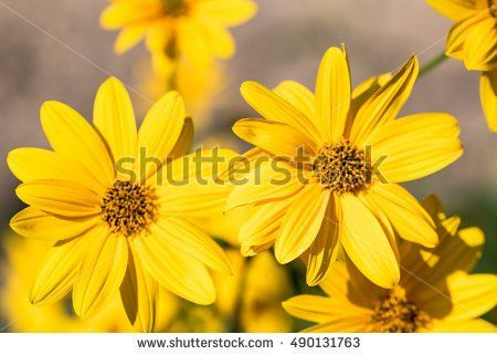 Topinambur, The yellow flowers of Jerusalem Artichoke plants, with blue sky and white clouds
