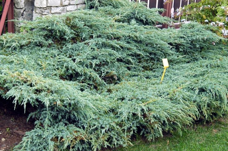 105 Best Images About CoNifeRs On Pinterest Gardens