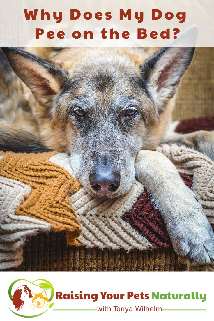 Why Does My Dog Keep Peeing On My Bed? Dogs, Old dogs, Pets