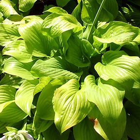 """Hosta 'Fried Bananas'. Clump Size: (L) 40"""" x 20"""". Leaf Size: 11"""" x 7"""". Leaves are oval to heart-shaped, chartreuse turning yellow, become the brightest yellow when grown in bright light. Very fragrant near white flowers bloom in August. Forms a nice sized mound with large fragrant flowers. It will be chartreuse green in the shade but when grown in bright light to full sun the foliage will be a brilliant yellow. Full sun to dappled shade. Humus-rich, moist but well-drained soil. Zones: 2 - 9"""