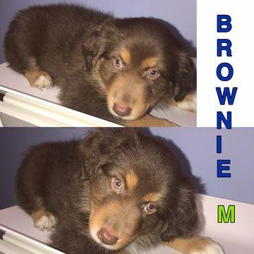 Litter of 3 Border-Aussie puppies for sale in LAND O LAKES, FL. ADN-27378 on PuppyFinder.com Gender: Male. Age: 7 Weeks Old