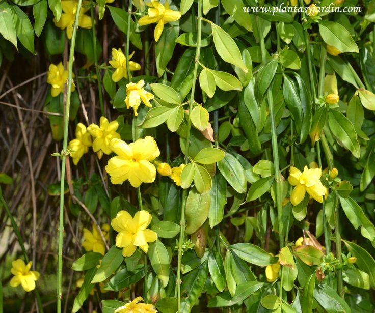Jasminum mesnyi-Jazmín de primavera-Jazmín amarillo: produce una prolongada floración desde las últimas semanas del invierno, durante la primavera hasta comienzos del verano <3