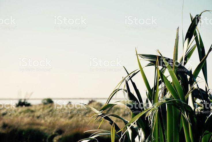 Soft Dreamy Harakeke (New Zealand Flax) Nature Background royalty-free stock…
