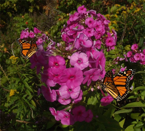 Having a Live Butterfly Garden is very easy to obtain. Actually, it is much easier then most people realize. All it takes is some flowers and...
