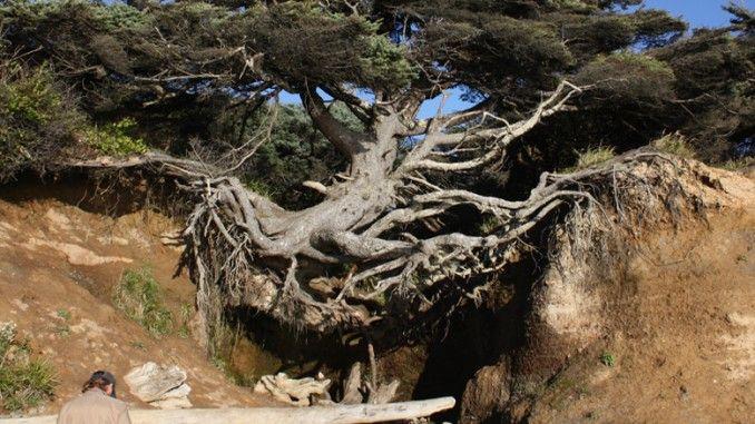 """Banyak orang menyebutnya dengan """"Pohon Kehidupan"""" karena ada yang sangat ajaib. Pohon ini menggantung di udara, dan seharusnya sudah mati bertahun-tahun lalu. Tumbuhan ini terletak di perkemahan Kalaloch, di sebuah tebing yang jika dilihat sudah terkikis karena erosi yang ada."""