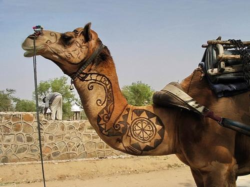 Ornate Camel on Thar Desert Road