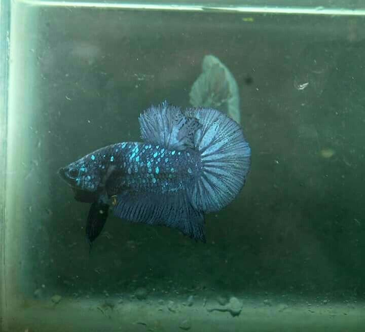 4100 Gambar Ikan Cupang Avatar HD Terbaik