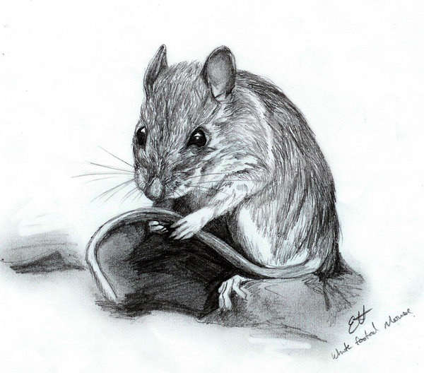 White-footed Mouse Graphite on paper   THERE IS A MOUSE IN ...