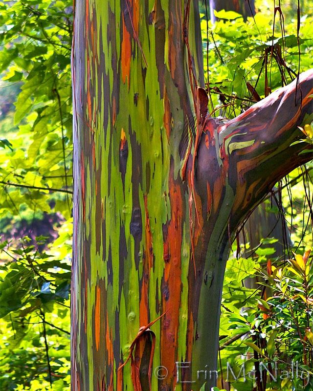 """Maui, Hawaii    """"Rainbow Eucalyptus Tree"""""""