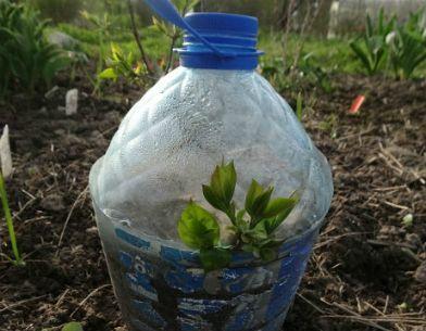 Мобильный LiveInternet Размножение черенками кустарников | Моя_дача - Пусть будут и цветочки, и ягодки! |
