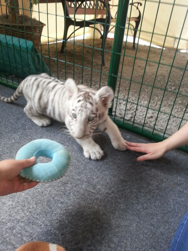where can i go to play with baby tigers
