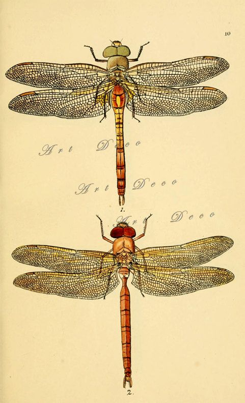 Vintage dragonfly print an antique scientific by ArtDeco on Etsy